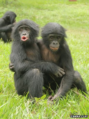 Embracing is one of the many ways bonobos comfort others