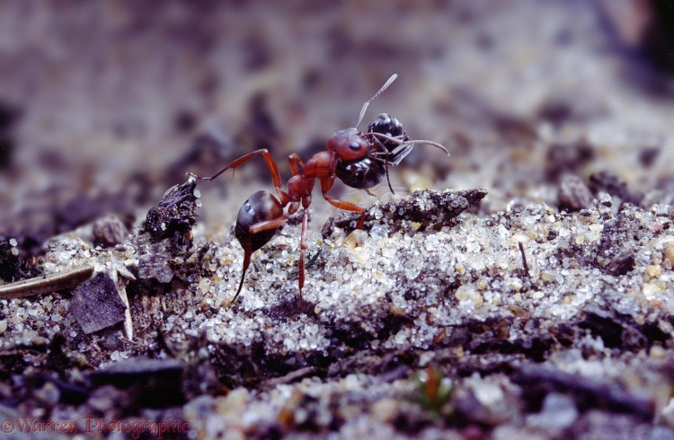 Slave-making Ant (Formica sanguinea) carrying Negro Ant (Formica fusca) slave.