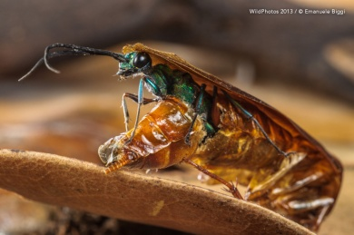 EBiggi_emerald-cockroach-wasp_ampcom97