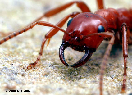 Polyergus Amazon Ants include recognizable by their sickle-shaped jaws which come in handy during their raids. The illustrated ant P. breviceps.